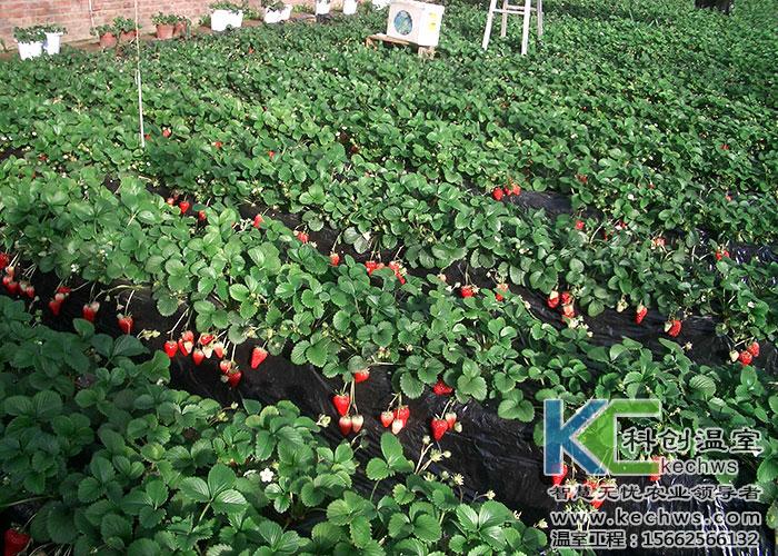 温室大棚种植草莓效益高产量高