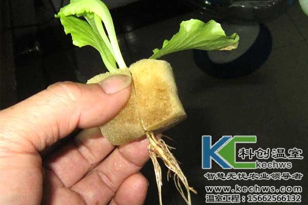 无土栽培,蔬菜无土栽培,蔬菜生产,蔬菜