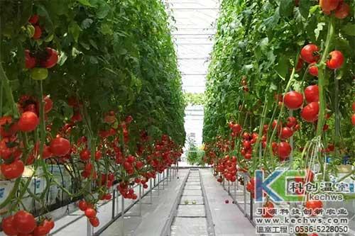 大棚,番茄,无土栽培