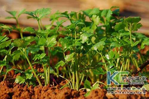 无土栽培,香菜,无土栽培技术